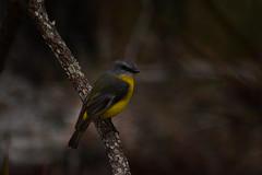 Eastern Yellow Robin (Luke6876) Tags: bird robin animal wildlife australianwildlife easternyellowrobin