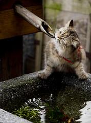Enjoy (OrangeK7) Tags: cute cat relax drink pussy drop japanstyle