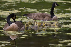 Family of Canada Geese 4-30-2016 (Scott Alan McClurg) Tags: life wild baby canada bird nature water animal swimming swim geese spring woods wildlife goose neighborhood wetlands suburbs gosling gliding waterfowl canadagoose canadageese waterbirds naturephotography glide branta anserinae anserini bcanadensis babygosling