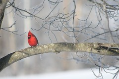Waiting for his turn on the bird feeder (picsbyrita) Tags: snow bird cardinal ruleofthirds week03 52in2016