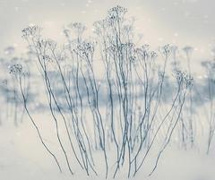 Winter Ghosts (MilaMai) Tags: snowflake flowers original winter snow cold flower suomi finland moody artistic bokeh ghost snowing tribute wildflower fragile atmospheric matte davidbowie milamai