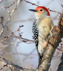 Red-bellied Woodpecker (snooker2009) Tags: winter red bird nature woodpecker pennsylvania wildlife redbellied