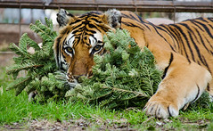 Sajani (International Exotic Animal Sanctuary) Tags: christmas white tree animal african tiger lion international exotic bengal sanctuary serval caracal capybara enrichment ieas