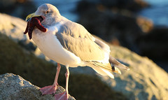 Seagull (kentmatthiesen) Tags: west vancouver starfish seagull seawall vs dundarave
