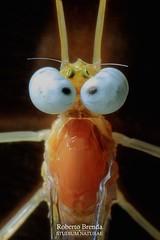 Heptagenia longicauda imago male (Roberto PE) Tags: ephemeroptera heptageniidae heptagenia