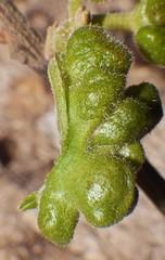 Leaf gall attack on Mallotus rainforest tree Airlie Beach P1300828 (Steve & Alison1) Tags: tree beach leaf rainforest attack gall airlie mallotus