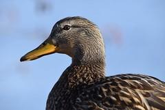 Mallard (careth@2012) Tags: portrait bird nature closeup duck nikon britishcolumbia wildlife beak feathers headshot mallard waterfowl 55300mm nikond3300 d3300