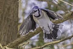 Blue Jay takes flight IMG_8161 (ronzigler) Tags: blue bird nature jay flight sigma cano avian birdwatcher 150600mm