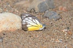DSC_3960 (Pasha Kirillov) Tags: butterfly sumatra indonesia lepidoptera pieridae gunungleuser taxonomy:order=lepidoptera taxonomy:family=pieridae geo:country=indonesia