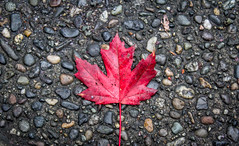 Leaf me alone (ian.emerson36) Tags: red canada vancouver leaf maple pavement