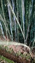 Bambu em filas para drenagem (Click do Rato) Tags: pelotas rs
