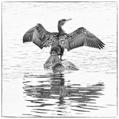 Grand Cormoran (Phalacrocorax carbo) (yann.dimauro) Tags: france animal nb fr extrieur oiseau rhone faune rhnealpes givors ornithologie
