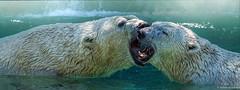 Polar Kiss (Robert Streithorst) Tags: polarbear cincinnatizoo simplysuperb zoosofnorthamerica robertstreithorst