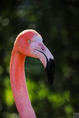 Flamant Rose - Zoo de Fort-Mardyck