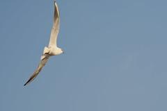 Seagull (Sreejesh Kalari Valappil) Tags: dubai uae seagull birds d7100 sigma70300 дубай