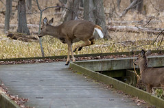 Maumee-Bay-State-Park-4b (Becker1999) Tags: statepark ohio wild nature crossing deer trail boardwalk leaping 2016 maumeebay maumeebaystatepark