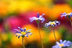 ()/Felicia amelloides-1 (nobuflickr) Tags: flower nature japan kyoto   bluedaisy bluemarguerite thekyotobotanicalgarden feliciaamelloides    awesomeblossoms  20160211dsc01047
