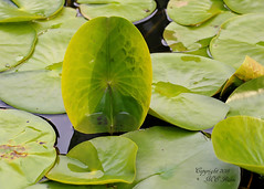 Waterlily Pads in Late Spring at Leonard J. Buck Garden of Far Hills New Jersey (takegoro) Tags: nature water leaves garden j pond waterlily buck preserve sanctuary new jersey garden hills lily pads leonard far