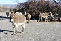 IMG_1363 (EllenJo) Tags: arizona donkeys canonrebel burros equine digitalimage verdevalley clarkdale 2016 february3 ellenjo ellenjoroberts winterinaz lifeoutwest