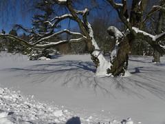 (MadKnits) Tags: blue trees winter sky white snow tree philadelphia shadows arboretum snowfall blizzard morrisarboretum morrisarboretumoftheuniversityofpennsylvania