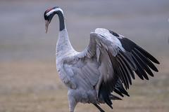 "Grulla comun ""Grus grus"" (alimoche67) Tags: espaa naturaleza fauna minolta sony aves zaragoza alpha teruel slt bello gallocanta grulla zancudas translucentmirror josejurado 77ii"