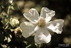 Rockrose (ILO DESIGNS) Tags: flowers espaa naturaleza flores nature spain flora shadows creative sombras jara rockrose creativa