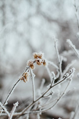 Frosty Burrs (Pics by Abigail) Tags: winter plants brown white snow blur cold ice nature wisconsin canon dead 50mm weeds frost bokeh hoarfrost frosty burdock frosted burrs niftyfifty