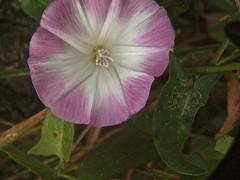 Convolvulus arvensis 3 (heinvanwinkel) Tags: frankrijk 2008 augustus convolvulaceae convolvulusarvensis solanales greoux akkerwinde convolvuloideae convolvuleae lamianae bloemvandedag