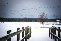 Flight (Annieverse) Tags: bridge winter snow birds landscape skne vinter sweden sverige scandinavia sn landskap lomma