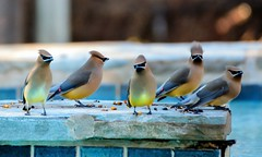 The Crew (brev99) Tags: birds bokeh cedarwaxwings d7100 topazdenoise saturatedslidefilmeffect tamron70300vc highqualityanimals photoshopelements12
