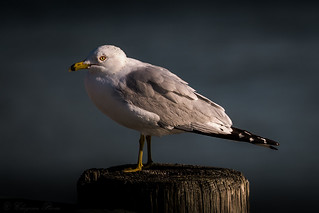 Ring-billed Gull ( Larus delawarensis )