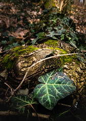 IMG_9512 (_oladipeter) Tags: light brown green nature forest amber leaf moss angle wide tendril underfoot bole