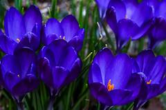 Spring Blues (Light Echoes) Tags: winter plant flower garden outdoors march blossom bokeh pennsylvania sony crocus depthoffield bloom 2016 a6000