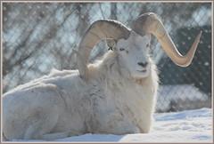 {Winter Dall Sheep - II.} (Wolverine09J ~ 1 Million + Views) Tags: fauna zoo wildlife friendsforever dallsheep thegalaxy worldofanimals heartawards thelooklevel1red animalsworldlevel1 ramonsnow febcomozoo winterram
