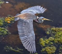 Tricolored Heron in Flight (Darts5) Tags: bird heron birds closeup canon bigbird grayheron bif tricoloredheron 7d2 ef100400mm 7dmarkii canon7d2 canon7dmarkii 7dmarkll canon7dmarkll ef100400mmlll 7d2canon