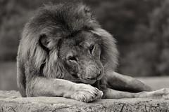 A very clean lion (castorssito) Tags: nikon lion leon bigcat felinos felines nikond3200 granfelino