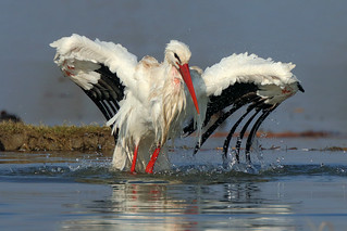 White stork bath e