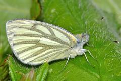 Pieris napi (Linnaeus, 1758) (Jesús Tizón Taracido) Tags: lepidoptera pieridae pierinae papilionoidea pierisnapi pierini