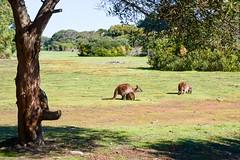 Kangaroo Island, Australia. (RViana) Tags: kangaroo wallaby australien marsupial australie oceania canguru kanguru    wallabee  ozeanien  ocanie kanguroo  oceanien   oseania kangoru