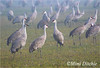 The Morning Meeting (Mimi Ditchie) Tags: mist birds fog merced cranes getty gettyimages sandhillcranes mercednationalwildliferefuge mimiditchie mimiditchiephotography