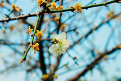 _MG_2159 (WayChen_C) Tags:   plumflower pingtung majia