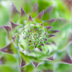 Spikey Spiral (mikeyp2000) Tags: flower green art spiral droste