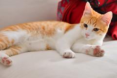 Gato Jinks  (2) (adopcionesfelinasvalencia) Tags: gato jinks