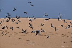 Pigeons at Marina Beach (Raghav Prasanna) Tags: bird pigeons marinabeach nammachennai mychennai