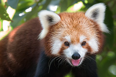 Red Panda (RoosterMan64) Tags: animal zoo panda redpanda tarongazoo
