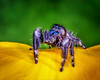 He's Got Betty Davis Eyes (Kathy Macpherson Baca) Tags: world flower color macro cute nature spider spring jumping eyes wildlife fast insects explore exotic tiny hunter predator arachnids regal jumpingspider phids