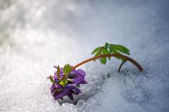 Unexpected spring snowstorm. (cosovan.vadim) Tags: snow flower macro spring nikon dof bokeh snowstorm sigma d750 70300mm unexpected
