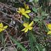 J20160411-0146—Sisyrinchium californicum—RPBG