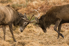 The fight (Shane Jones) Tags: fight nikon stag wildlife deer antlers reddeer tc14eii 200400vr d7000