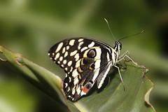 Butterfly (Juergen Huettel Photography) Tags: macro butterfly makro schmetterling
